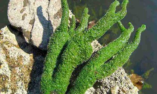 Бадяга - полезная водоросль