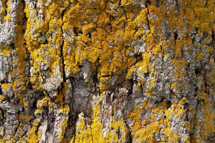 Кора дуба: лечебные свойства, применение, противопоказания и отзывы