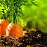масло семян моркови