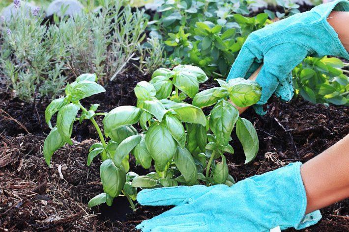 Выращивание базилика в открытом грунте из семян и рассады